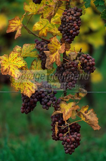 Europe/France/Alsace/68/Haut-Rhin/Eguisheim : Vignoble - Détail raison pinot gris