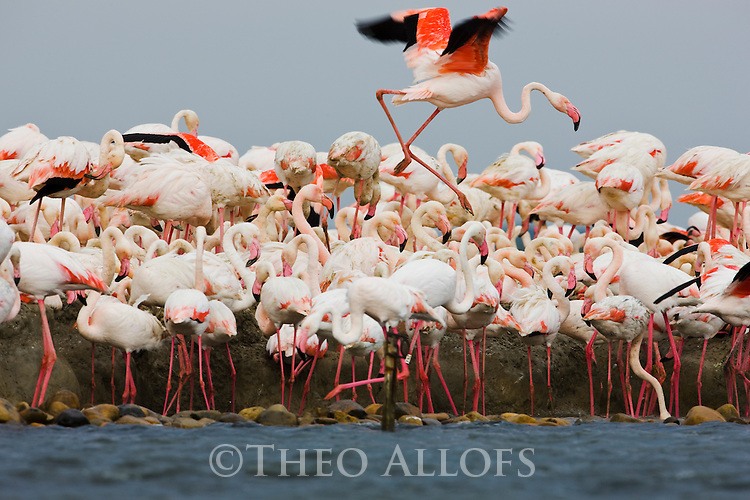 Greater Flamingos (Phoenicopterus roseus), at breeding colony,  estimated 10.000 breeding pairs, Camargue, Rhone Delta,France