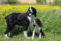 0730-0824  Puppy and Adult English Springer Spaniels, Canis lupus familiaris © David Kuhn/Dwight Kuhn Photography.