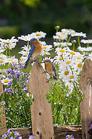 Eastern Bluebird, Lumberton, New JerseyEastern Bluebird, Lumberton, New Jersey