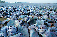 Europa Deutschland DEU <br />Kohl Rotkohl Gemuese auf Feld in Dithmarschen  - Felder Landwirtschaft Kohlkopf Kohlkoepfe xagndaz | <br />Europe Germany <br />cabbage at farm  - field farm work farmer agriculture <br /> | [copyright  (c) agenda / Joerg Boethling , Veroeffentlichung nur gegen Honorar und Belegexemplar an / royalties to: agenda PG   Rothestr. 66   D-22765 Hamburg   ph. ++49 40 391 907 14   e-mail: boethling@agenda-fototext.de   www.agenda-fototext.de   Bank: Hamburger Sparkasse BLZ 200 505 50  kto. 1281 120 178   IBAN: DE96 2005 0550 1281 1201 78  BIC: &quot;HASPDEHH&quot;] [#0,26,121#]