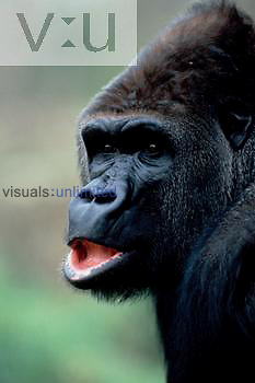 A Gorilla. ,Gorilla gorilla, Zoo Hanover, Germany