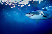 Great White Shark  (Carcharodon carcharias) off Guadalupe Island, Mexico.  Photo Copyright Protected © Dale Sanders / www.dalesanders.info  All Rights Reserved.