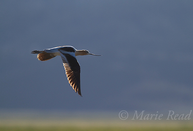 American Avocet (Recurvirostra americana) in flight, backlighting, Bridgeport Reservoir, California, USA
