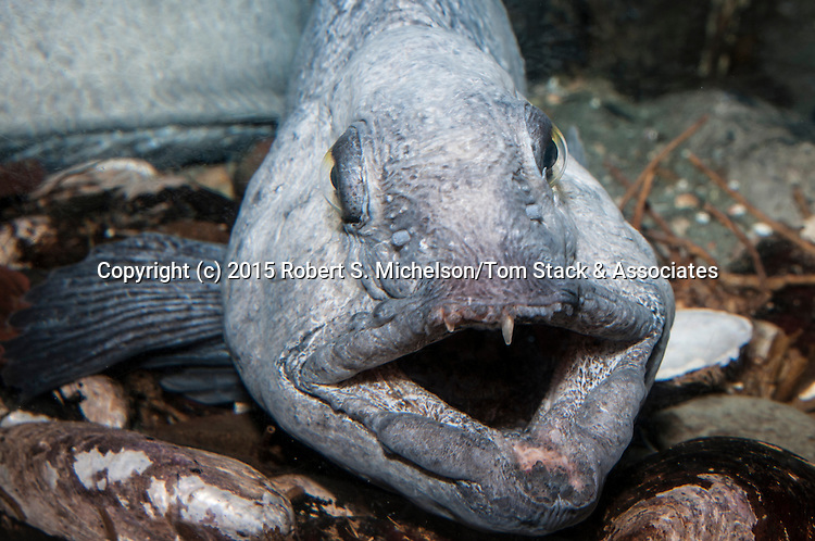 Atlantic wolffish facing cameras mouth open