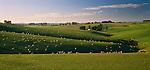 Sheep grazing on rolling green farm country near Balclutha. Otago Region. New Zealand.
