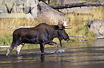 A Bul Moose crossing the Madison River. Yellowstone National Park, Wyoming