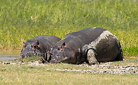 Two Hippopotamuses, Hippopotamus amphibius, rest at the edge of a pond in Ngorongoro Crater, Ngorongoro Conservation Area, Tanzania