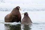 Norway, Svalbard, walruses on fjord ice and in water, Odobenus rosmarus