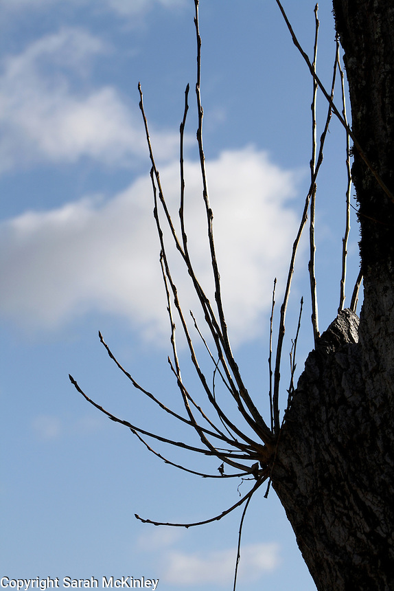 Several spring sprouts growing from a cut tree limb are silhouetted by the late winter sky.