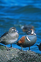 Harlequin Ducks, male & female, Barnegat, New Jersey