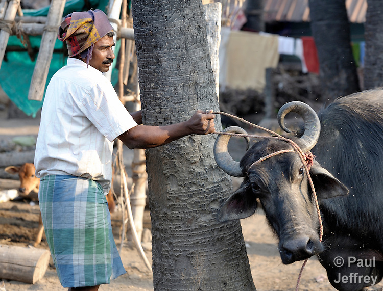 A man ties up his cow in Natham, a small town in the southern India state of Tamil Nadu.