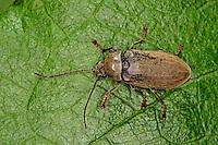 Behaarter Moorweichkäfer, Behaarter Wiesenkäfer, Dascillus cervinus, Orchid Beetle, Moorweichkäfer, Wiesenkäfer, Dascillidae
