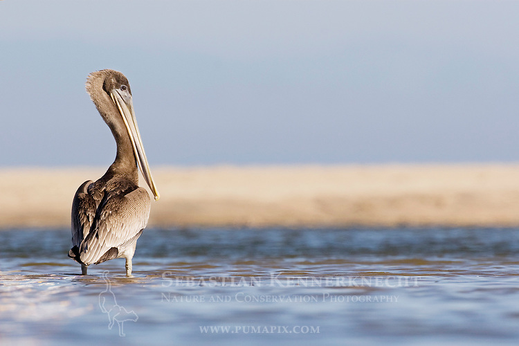Brown Pelican (Pelecanus occidentalis) juvenile standing in lagoon, Santa Cruz, Monterey Bay, California