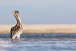 Brown Pelican (Pelecanus occidentalis) juvenile standing in lagoon, Santa Cruz, Monterey Bay, California