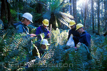 Dr David Lindenmayer (yellow helmet) studying LB possum with Earthwatch volunteers, Mountain Ash forest, central highlands, VICTORIA