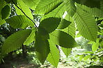 Photosynthesis as sunlight shines on leaves