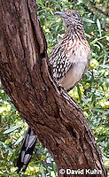 0610-1111  Greater Roadrunner (Chaparral Cock or Ground Cuckoo), Geococcyx californianus  © David Kuhn/Dwight Kuhn Photography