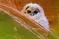 A fledgling Mexican Spotted Owl hides in the red rocks of its Utah canyon home.