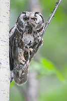 A Boreal Owl carries a root vole in his bill and prepares to bring it to the young waiting in the Flicker cavity in a quaking aspen. Boreal Owls prefer closed canopy habitats within the boreal forest, where they hunt at night by moving from tree to tree, listening for prey moving below.