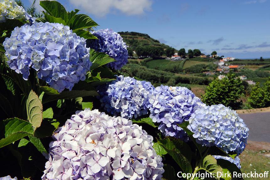 Hortensie (Hydrangea) in Remedios auf der Insel Sao Miguel, Azoren, Portugal