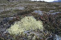 Reindeer Lichen - Cladonia rangifera