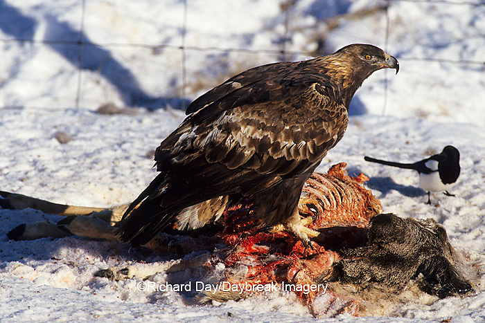 00788-00416 Golden Eagle (Aquila chrysaetos) on deer carcass in winter   WY