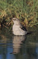 Northern Mockingbird, Mimus polyglottos, adult bathing, Starr County, Rio Grande Valley, Texas, USA, March 2002