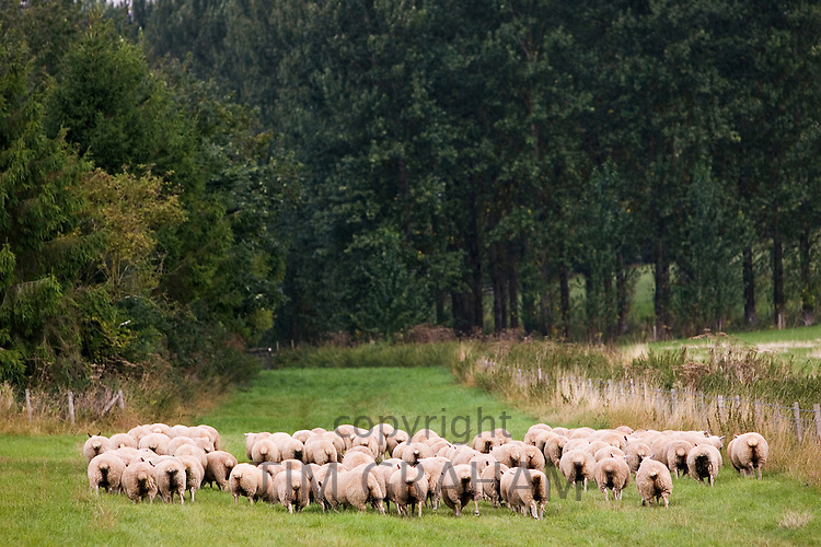 Flock of sheep in Oxfordshire, England