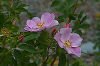 Wild Roses near Two Medicine Lake, Glacier National Park