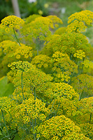 Dill blooms in community garden, Maine,