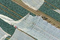 Moderne Landwirtschaft: EUROPA, DEUTSCHLAND, SCHLESWIG- HOLSTEIN, LAUENBURG, 20.06.2013: Arbeiter legen ein Plane ueber Kohlpflanzen
