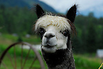 Alpaca at Arica Gardens B&B in Slocan Valley