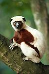 Coquerel's Sifaka, Propithecus coquereli, sitting in tree, Palmarium, Ankanin'ny Nofy, Madagascar, Endangered IUCN Red List and Appendix I of CITES