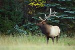 Bull Elk at Edge of Forest