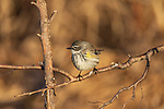 Yellow-rumped warbler foraging in northern Wisconsin.