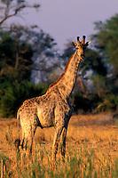 Giraffe, Giraffa camelopardalis, Okavango Delta, Botswana, Africa