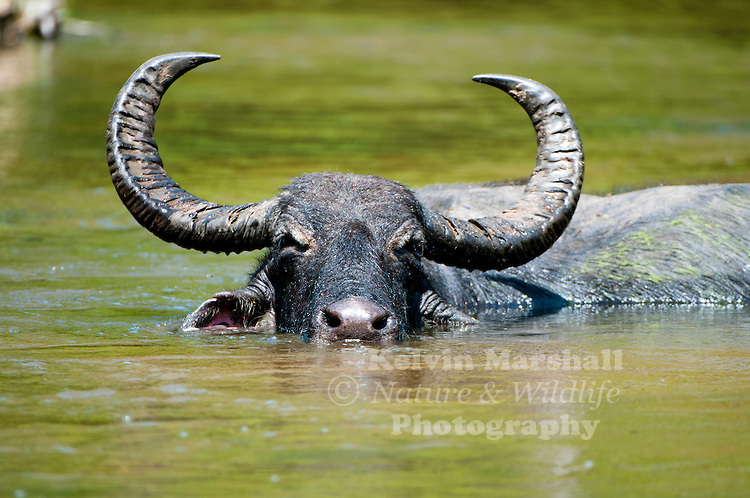 Water buffalo or domestic Asian water buffalo (Bubalus bubalis) is a large bovid found on the Indian subcontinent to Vietnam and Peninsular Malaysia, in Sri Lanka, in the Philippines, and in Borneo. - Bundala National Park  -  Sri Lanka.