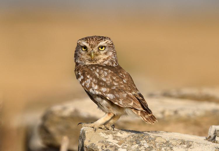 Little Owl - Athene noctua