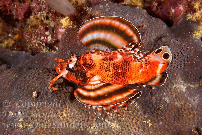 Twinspot Lionfish (Dendrochirus biocellatus) off New Britain Island, Papua New Guinea.