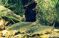 Hasel, Häsling, Leuciscus leuciscus, common dace, Eurasian dace
