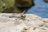 06475-00104 Eastern Least Clubtail dragonfly (Stylogomphus albistylus) female near creek, Ripley Co., MO