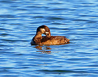 Immature male surf scoter preening