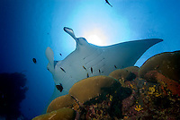 Manta Sandy, Raja Ampat, West Papua, Indonesia, December 2010. Black and white Manta Rays glide through the water and hover over the cleaning station where little cleaner wrasse clean them of parasites. Raja Ampat is one of the best places in the world to see the Mantas and the only place where black mantas are spotted.  Photo by Frits Meyst/Adventure4ever.com