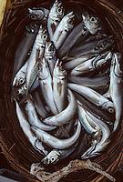 """Europe/France/Bretagne/29/Finistère/Le Guilvinec: Pêche en mer sur le chalutier """"Samouraï"""" - Cabillauds"""