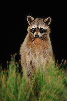Northern Raccoon (Procyon lotor), adult at night standing on hind legs, Fennessey Ranch, Refugio, Coastal Bend, Texas Coast, USA
