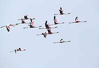 Stock photo: Flamingo flock flying against blue sky in the Khijadiya Birds sanctuary of Jamnagar, India. Image is available for Editorial/Non-commercial Use Only.<br />