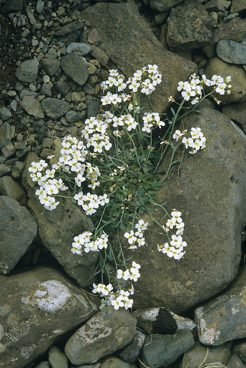 NORTHERN ROCK-CRESS Arabis petraea (Brassicaceae) Height to 30cm. Variable perennial of rocky places in mountains. FLOWERS are 5-7mm across with 4 whitish or lilac petals (Jun-Aug). FRUITS are curved and 4cm long. LEAVES appear as a basal rosette of pinnately lobed, stalked leaves plus narrow, toothed stem leaves. STATUS-Local, restricted to mountains from N Wales northwards; commonest in Scotland.
