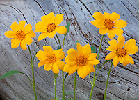 Yellowstone National Park, WY<br /> Balsam root (Balsamorhiza sagittata) flowers with weathered log