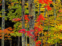 Porcupine Mountains Wilderness State Park, MI<br /> Lichen covered tree trunks accented by the red fall foliage of a Sugar Maple in a hardwood forest